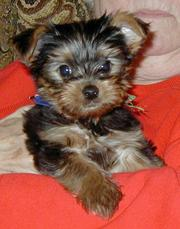 cute and friendly Yorkie for adoption